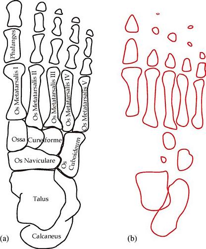 Ossos dos pés de criança e adulto