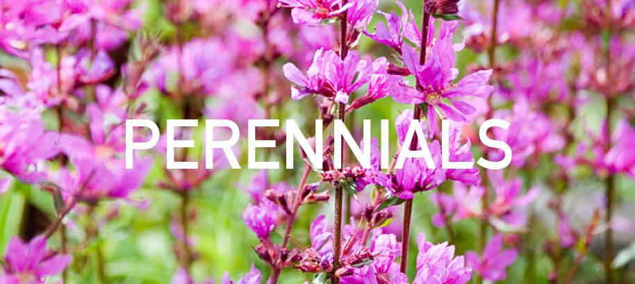 PERRENIALS