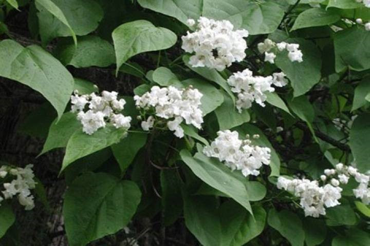 Ropers Catalpa