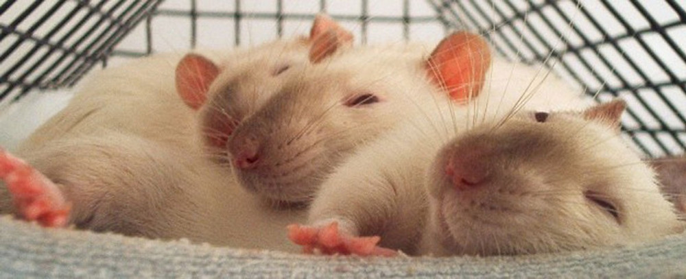 Three white rats sleeping in a cage
