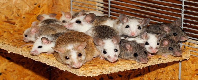 A group of mice in a wooden cage