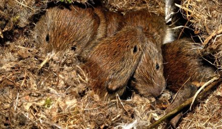 How bank voles take the future into account