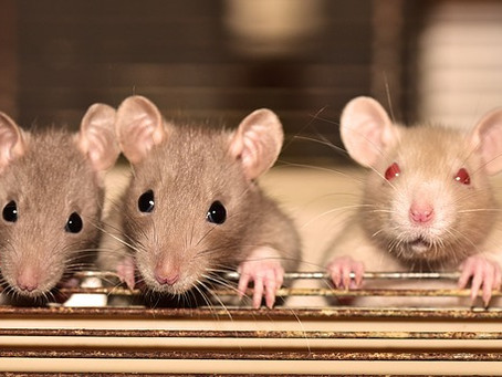 Vestibulopathy: movement and balance issues investigated in rats