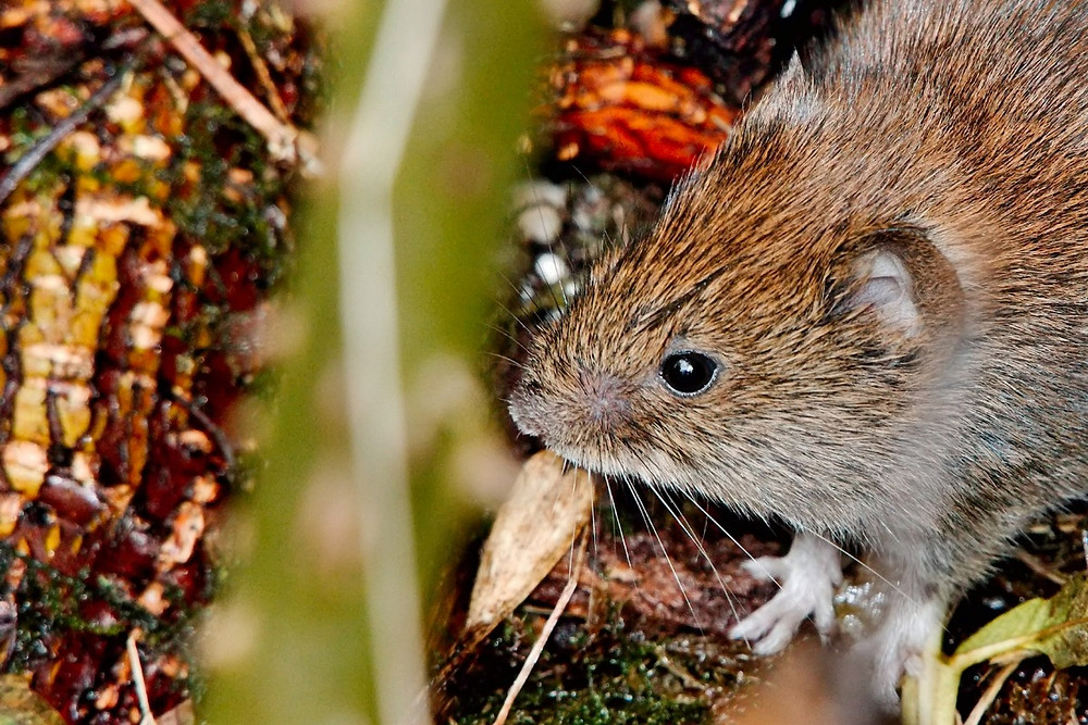 A bank vole walking on the ground in nature