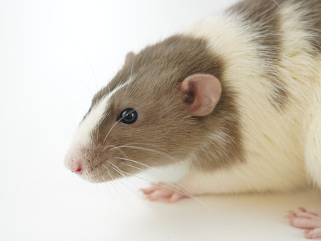 Taking opioids during pregnancy: short- and long-term consequences in rats