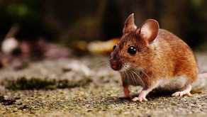 About unexpected results: predator odor excites mice