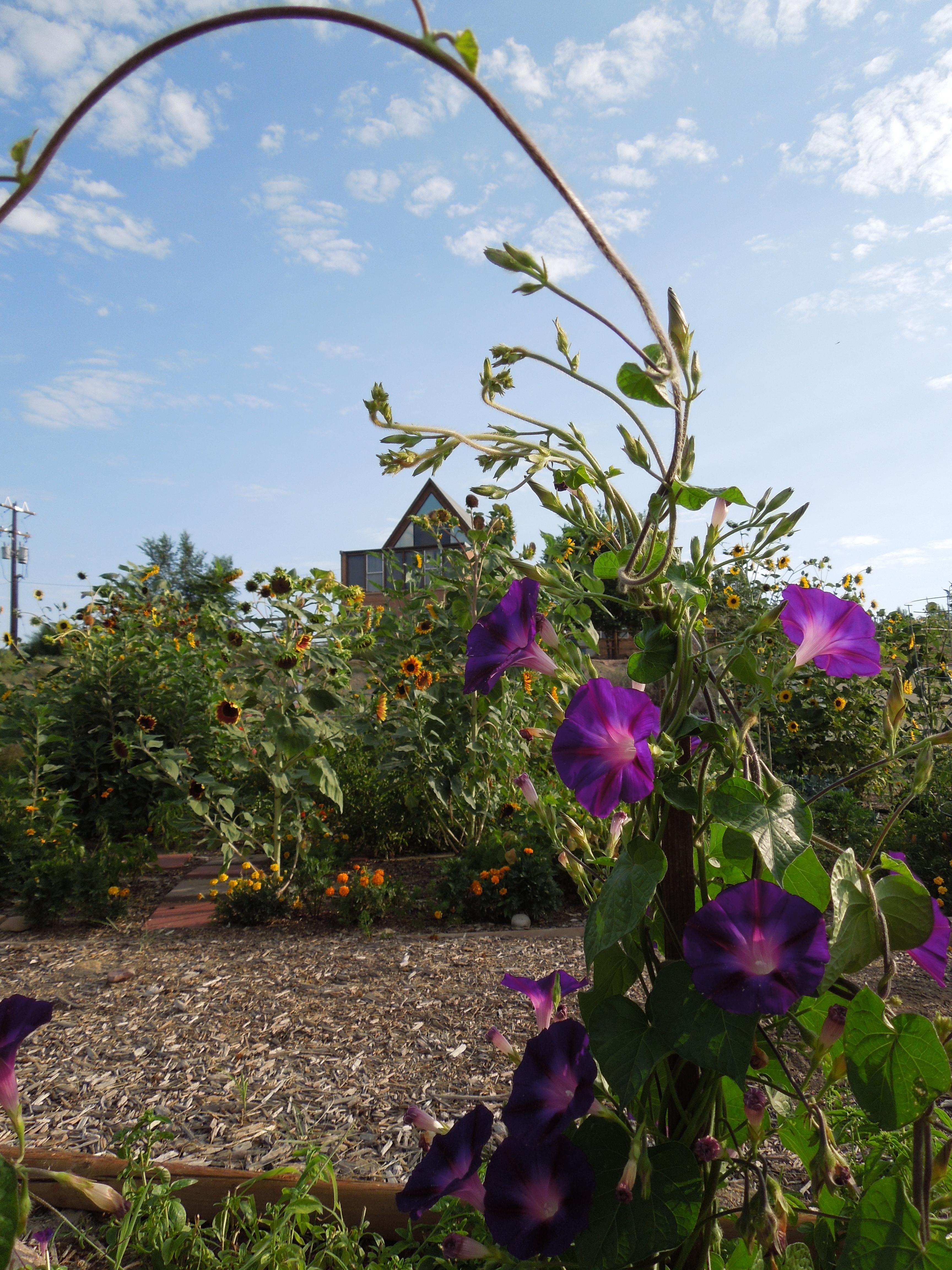 garden-8-2013-23 Community Garden