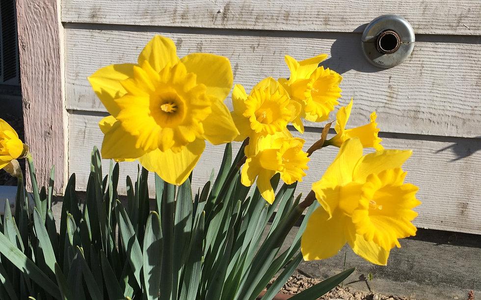 Daffodils30Mar21_edited.jpg