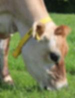 Organic jersey cow