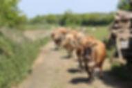 free range jersey cow herd