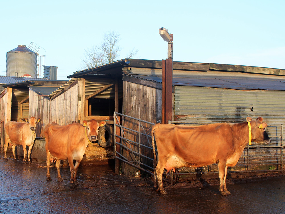 first cows out of the milking parlour