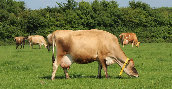 Geri the jersey cow