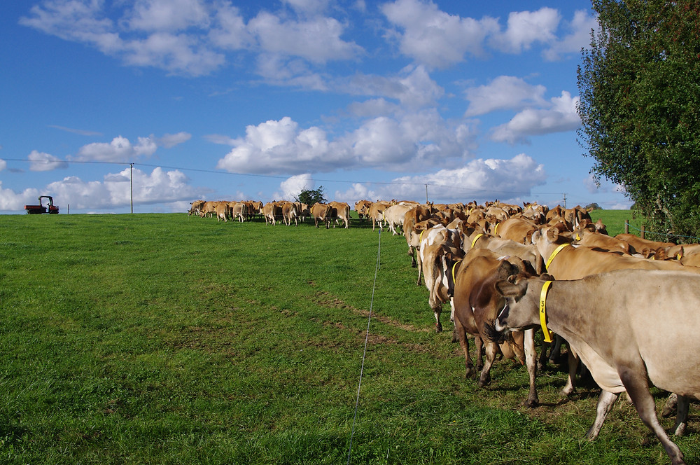 Organic jersey cows out in fields