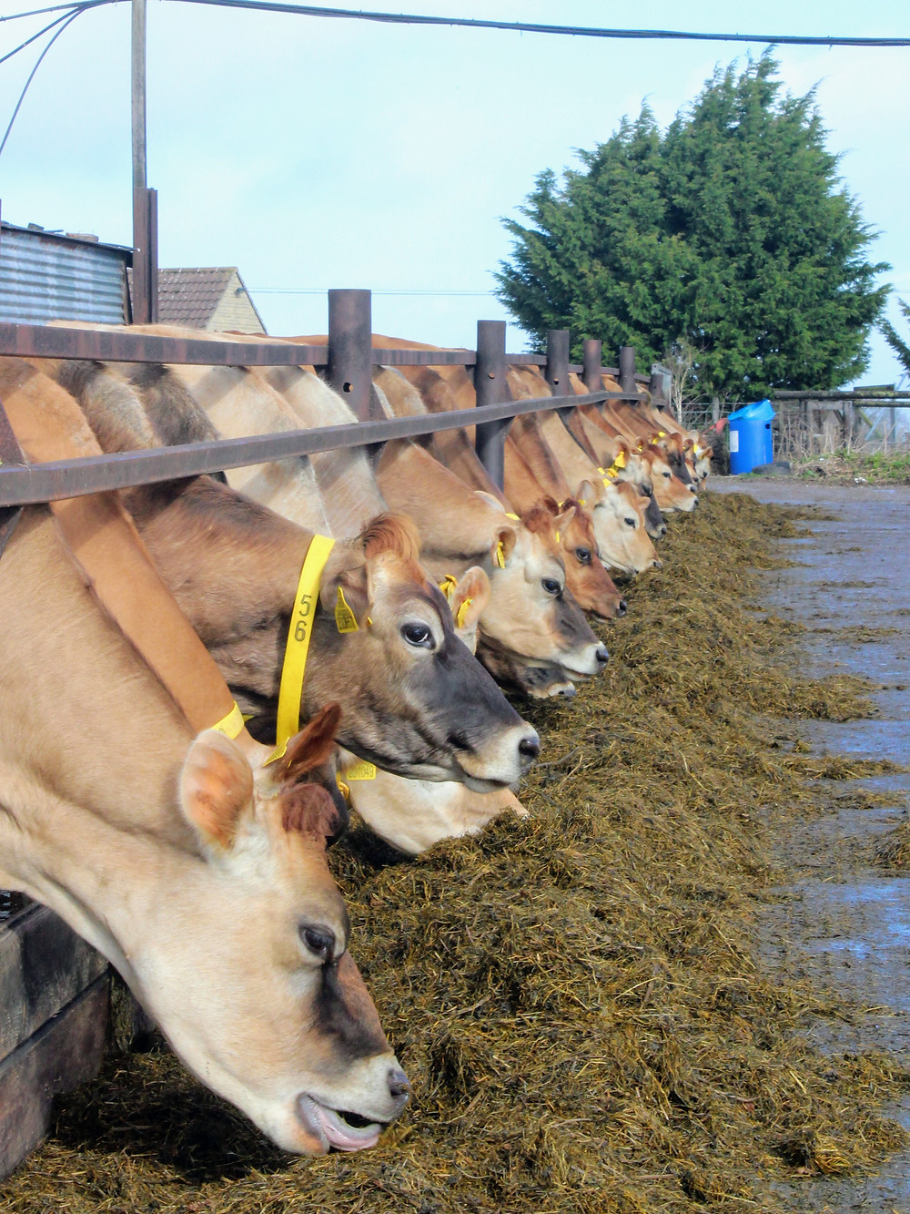 jersey cows eating organic silage