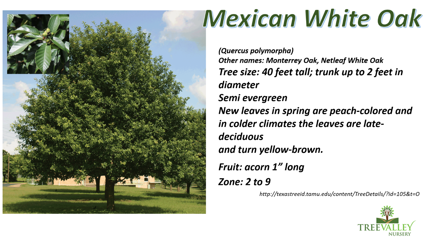Mexican White Oak_edited.png