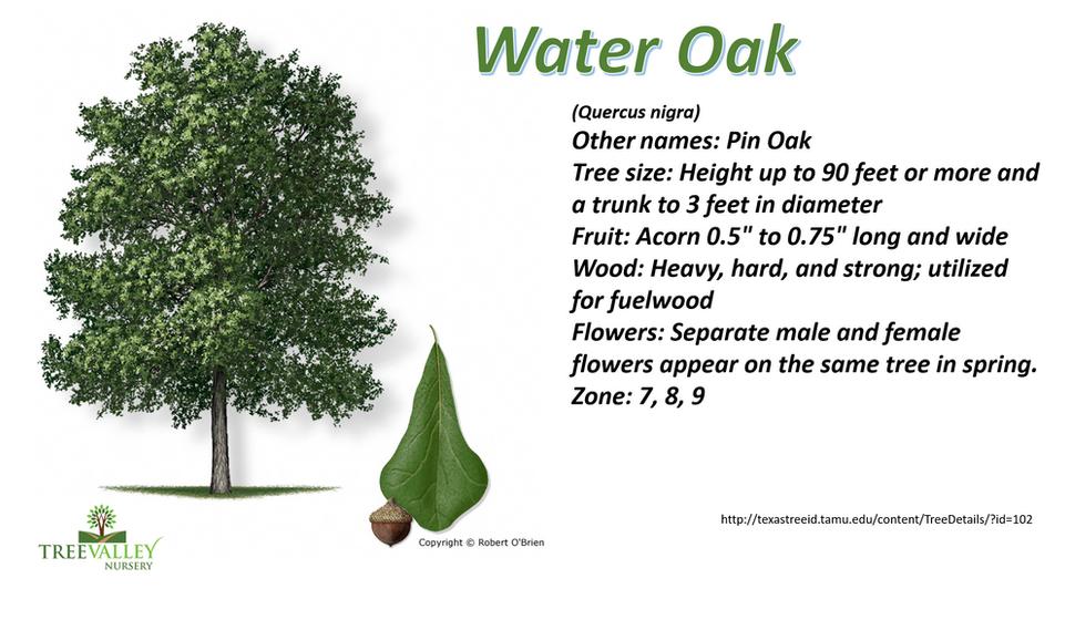 Water Oak.png