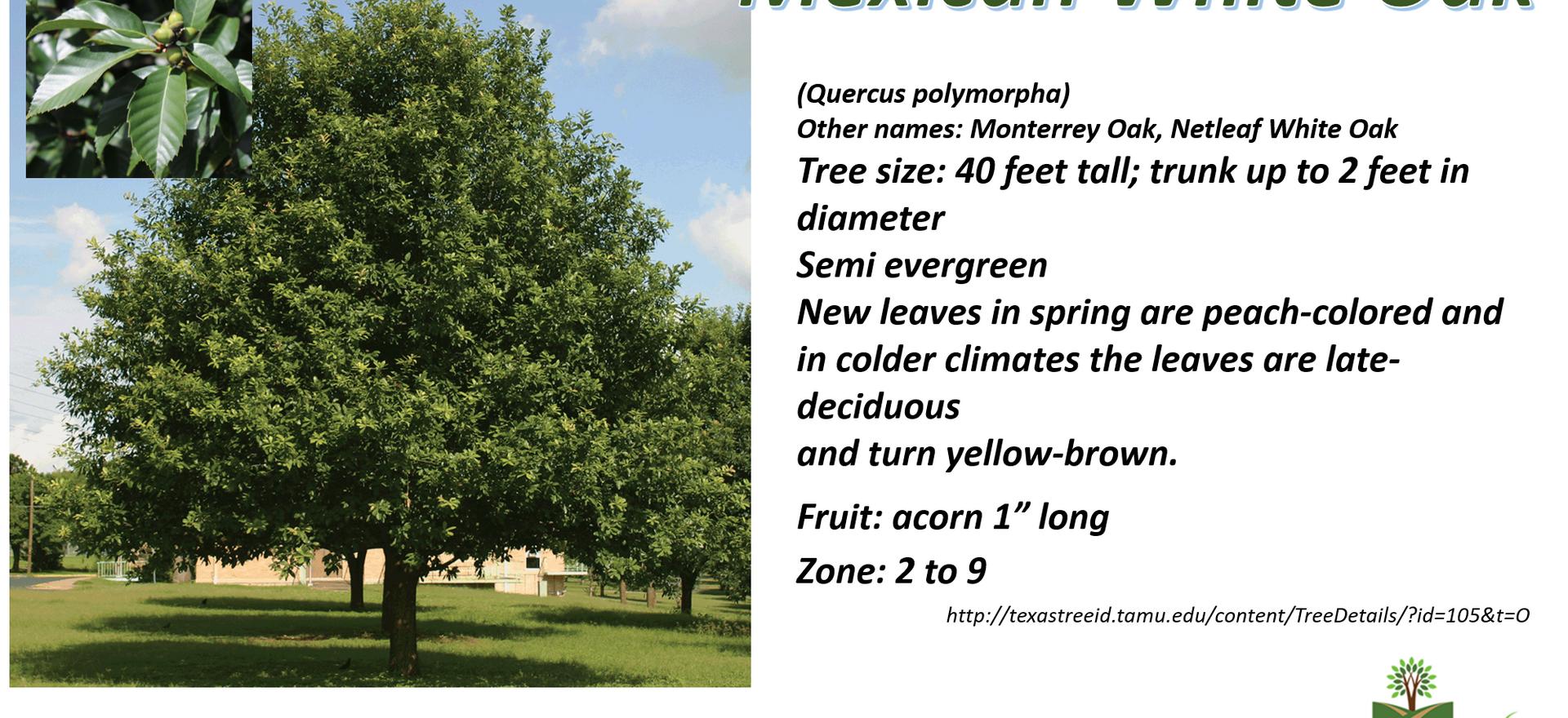 Mexican White Oak.png