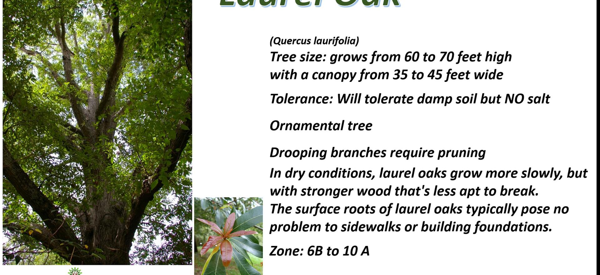 Laurel Oak.png