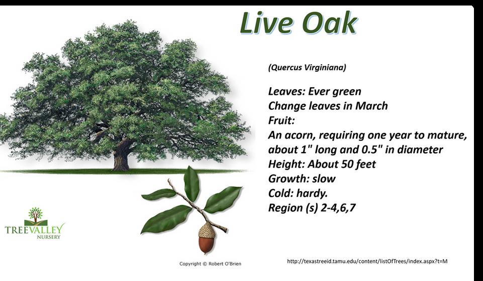 Live Oak.png