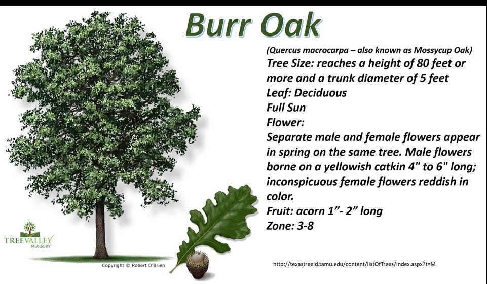 Burr Oak.png