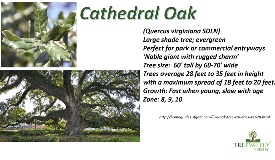 Cathedral Oak.png