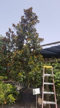 Magnolia 95 gal