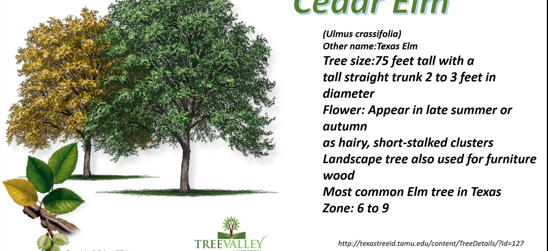Cedar Elm.png