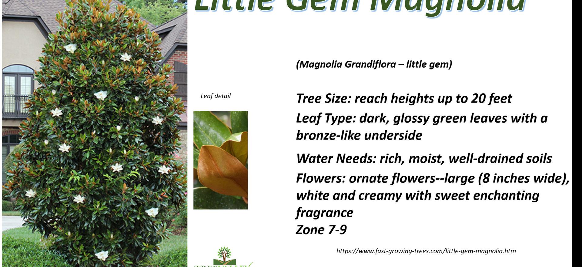 Little Gem Magnolia.png