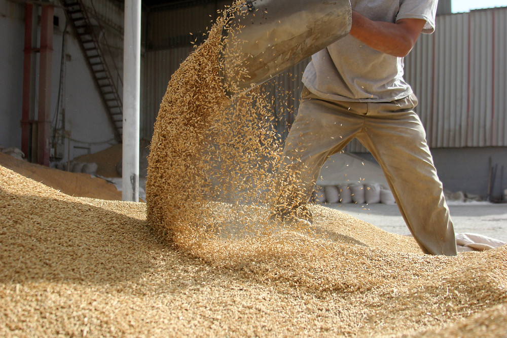 Farm worker sorting through dry grain feed