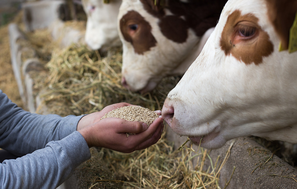 Cow sniffing feed in farmer's hand while cattle eat feed in the background