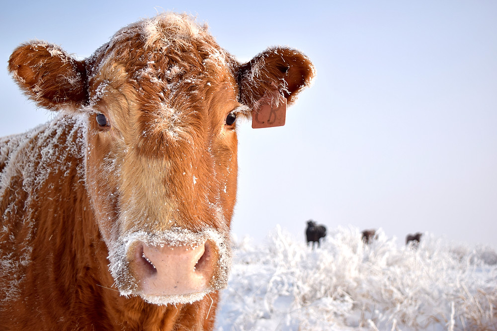 Close-up view of cow standing in a snowy field