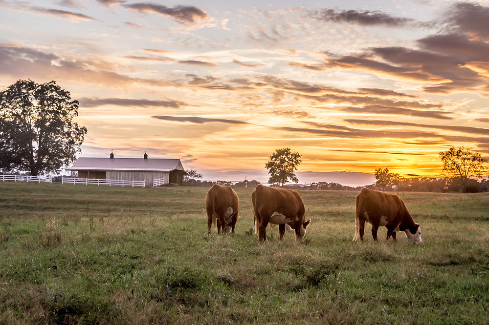Cattle grazing on forage in a field near a farmhouse at sunset