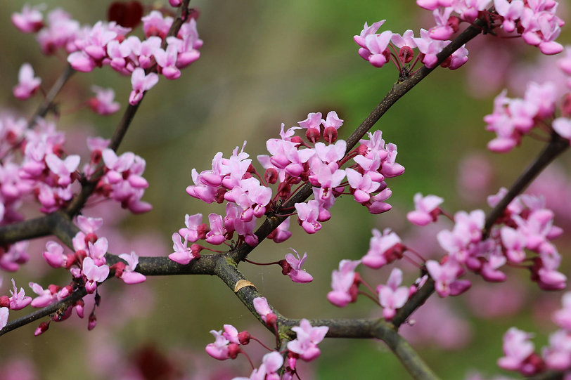 Cercis used in garden design