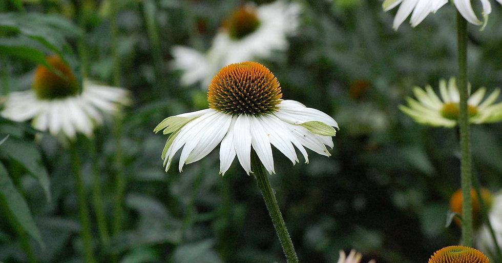 white Echinacea planting design