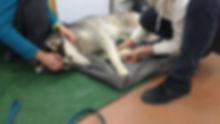 massage chiens sportifs cynosophie aud2.