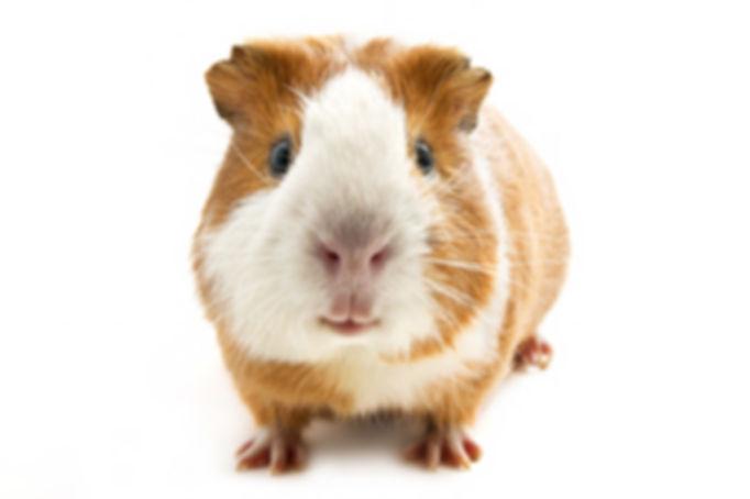 guinea pig on the white background.jpg