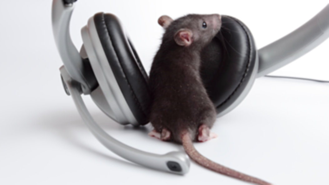 Behavior page rat with headphones on a w