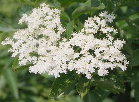 WNC Elder Plant Enchants