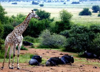 Girafe and Wildebeasts in Pilanesberg Game Park