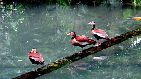 Birds at Museu Goeldi