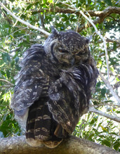 Owl in Kirkenbosch Gardens