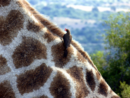 Oxpecker bird eats ticks on girafe