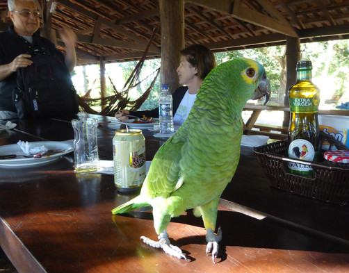 Hungry parrots patrols tables