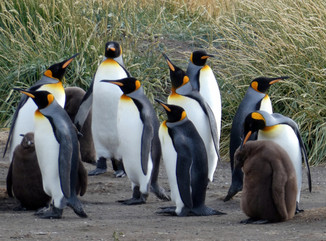 King Penguin adults and chicks