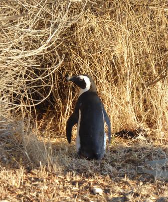 African Penguin on Robben Island