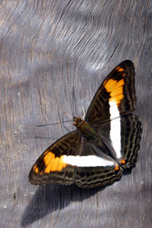 Can you identify this butterfly?