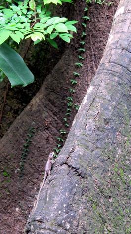 Lizzard on prop root, Museu Goeldi