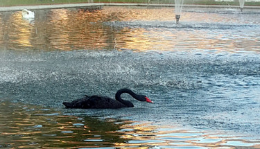 Black swan in Itamaraty Garden