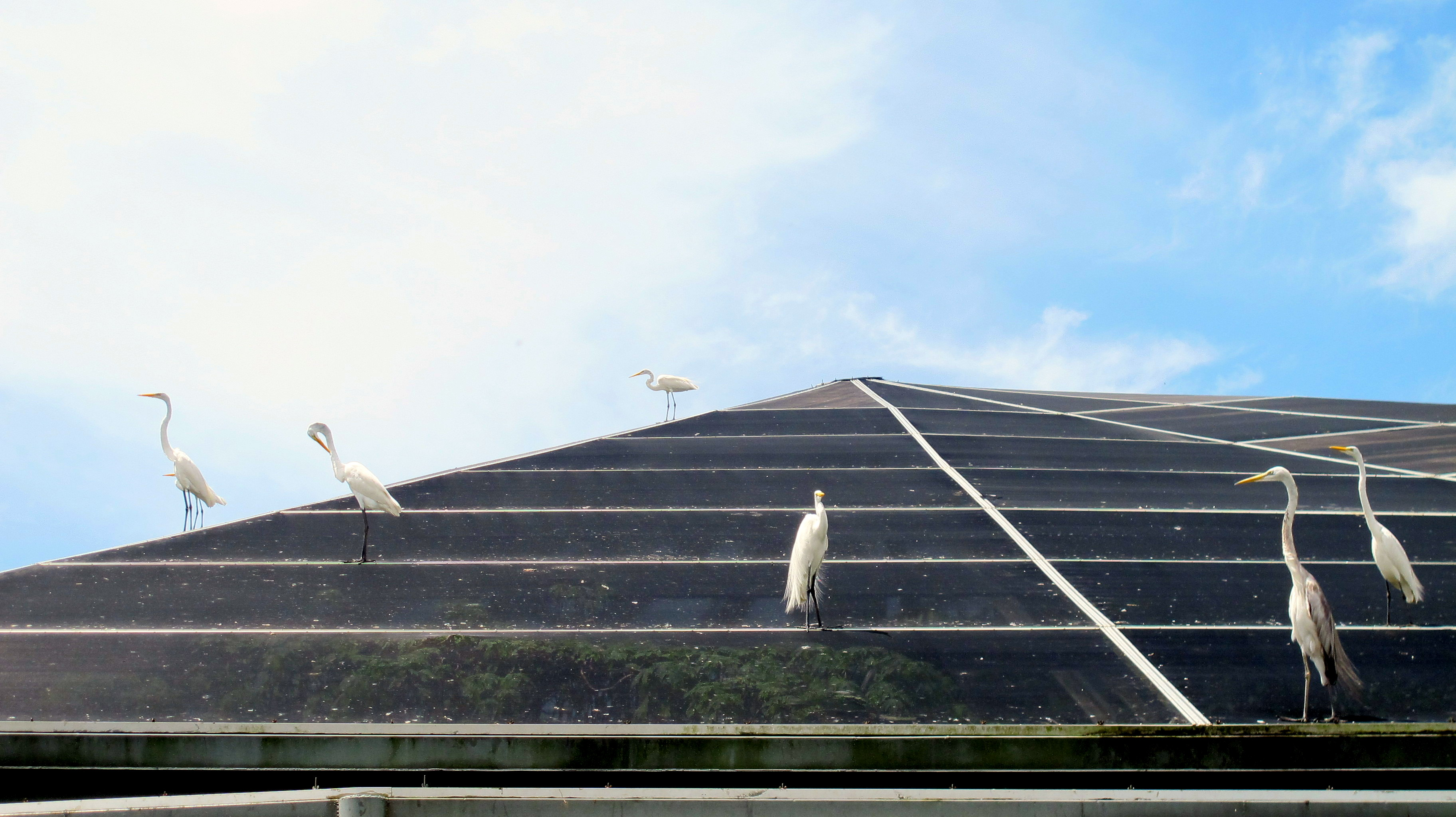 IMG_1215_Egrets_roof_Belem