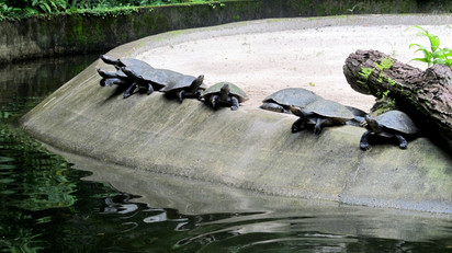Turtles at Museu Goeldi